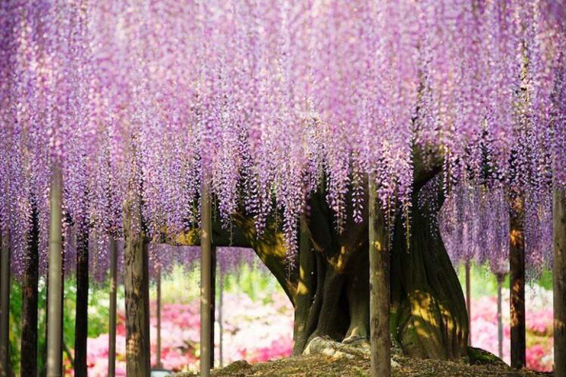 Wisteria: Το πιο όμορφο δέντρο του κόσμου