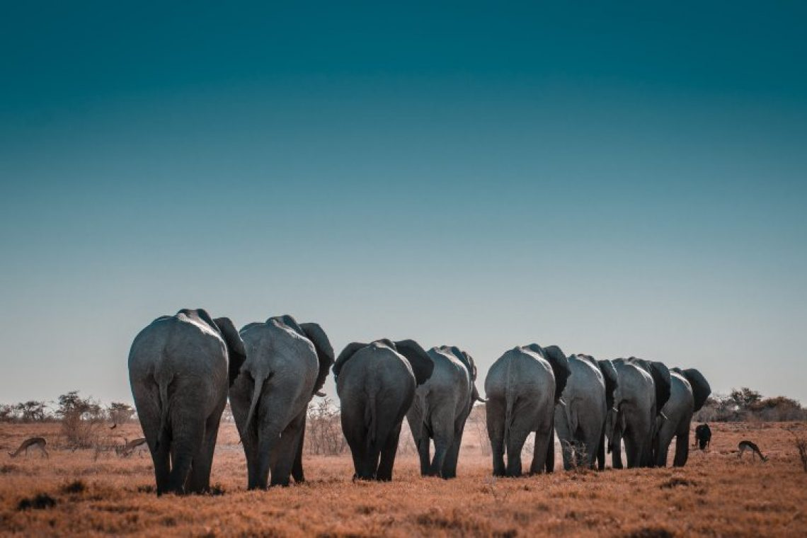 Ζιμπάμπουε: 600 ελέφαντες θα μεταφερθούν από το Εθνικό Πάρκο, γιατί κινδυνεύουν από τη σοβαρή ξηρασία
